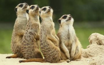 Photo of Meerkats